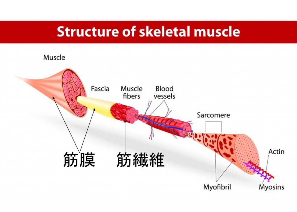 筋膜筋繊維
